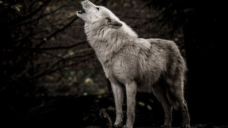 France has about 360 wolves (c) Jef Wodniack Getty Images