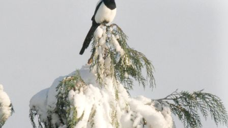 A magpie on watch
