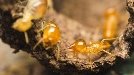 Don't panic if termites are found in your French home (c)Thithawat s Getty Images