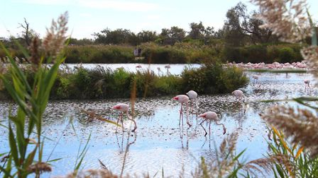 Flamingoes in the Camargue (c) Jenny Eagle
