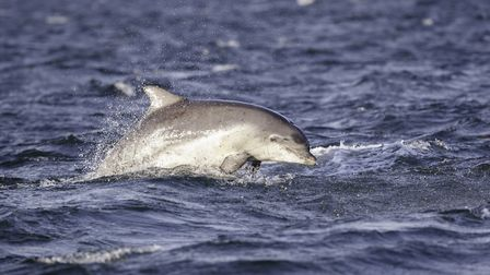 A bottlenose dolphin triggered a ban on swimming in Brittany (c) Wild & Free / Getty Images