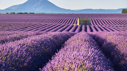 The remarkable lavender fields of Valensole. Pic: Francois Roux