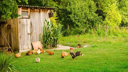 Hens will provide eggs, eat your vegetable peelings and don't require too much space (c)Batke/Getty