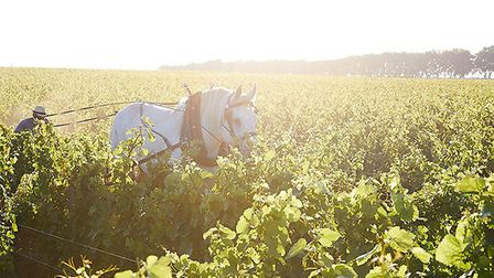 Horses help out with the harvest