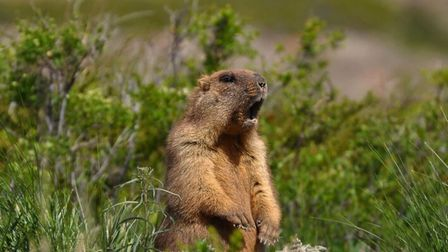 Marmots are emblematic of the French Alps. Pic: Yevgeniy Drobotenko/Getty