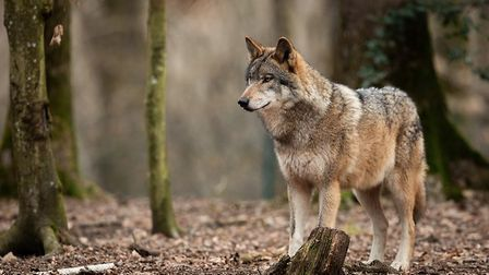 A handsome grey wolf. Pic: AB Photography