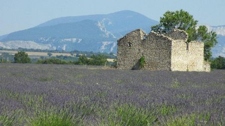 Lovely lavender is a Provence staple