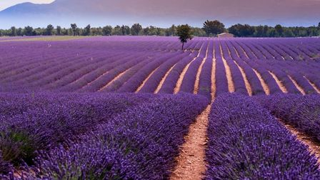 The amazing lavender fields of Valensole. Pic: Provence Photos/Getty
