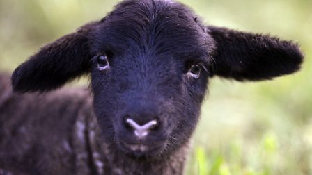 Newborn Norfolk horn lamb takes in her surroundings near St Andrews Church, Southburgh. Picture: Mat