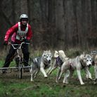 Husky racing in Kings Forest (Thetford Forest).