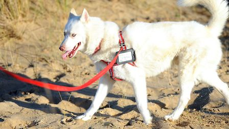 Bolt the husky on Yarmouth beach. Picture: James Bass