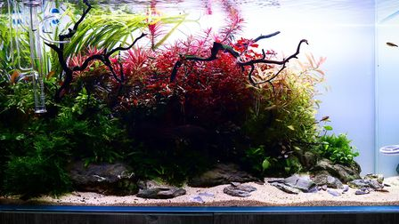 Aquascaping is the art of creating beautiful plant-filled fish tanks. Picture: Scaped Nature