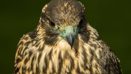 The peregrine, TD, was killed earlier this year after being struck by a plane and has been mounted a
