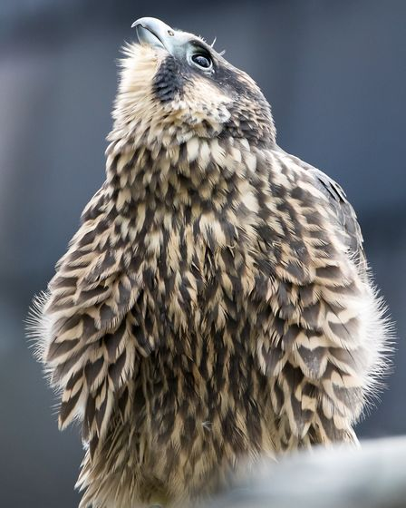 The peregrine was only 76 days old when she was struck by a plane. Picture: Chris Skipper