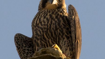 The peregrine pictured in 2018. Picture: Chris Skipper