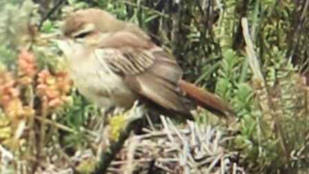 A Rufous Bush Chat bird spotted in Stiffkey, Norfolk Picture: Simon King/Twitter @UKTwitcher