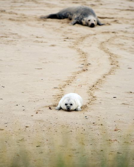 Horsey Beach is a popular attraction as you can see both seals and their pups Picture: James Bass