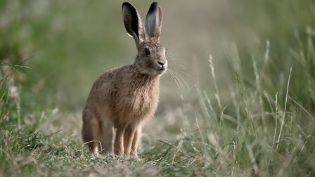 Apparently, Boudicca released a hare before battle as a good luck charm Picture: Getty Images/iStock