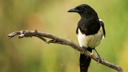 Hello Mr Magpie, how's your wife? Picture: Getty Images/iStockphoto