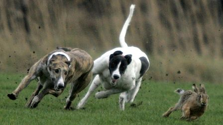 Stock image of a hare being pursued by greyhounds. Four men have been arrested in connection with ha