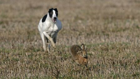 Stock image of a hare being pursued. Four men have been arrested in connection with hare coursing in