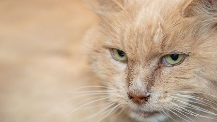 Biscuit, known as Bikkit, the cat, who has returned home to Keith and Su Bigland after vanishing in