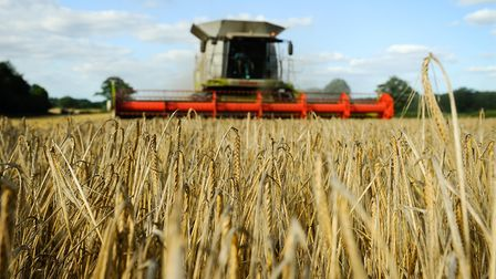 Malting barley being harvested near Salhouse. Picture: Angela Sharpe