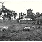 Sheep graze at East Runton 1964 the derelict windmill in the background. Picture: Archant Library