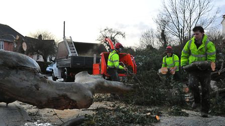 The large fallen Eucalyptus tree being cleared from Birbeck Road, Lakenham, Norwich. Photo: Steven A