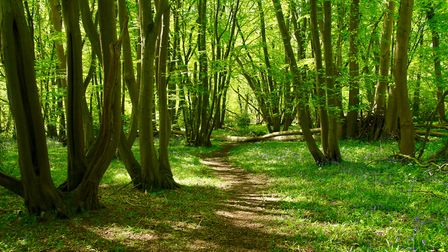 Pathway through the bluebells in Wayland Wood. Picture: Lydia Taylor