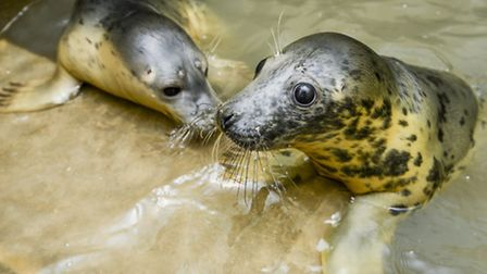 Some of the seals caught up in the tidal surge in December, which are now being looked after at the