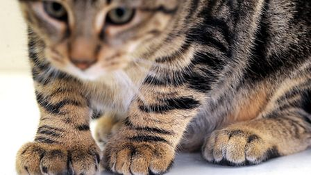 One of the kittens that has more toes than it should have. Picture: Gregg Brown