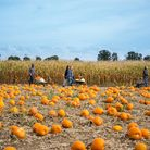 Undley Pumpkin Patch and Maize Maze are returning this year Picture: LOUD LADYBIRD