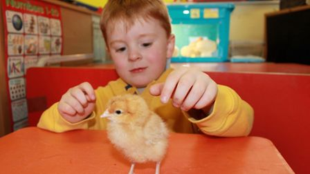 Four-year-old George Johnson has a go at handling one of the nine chicks that he and his fellow Lad