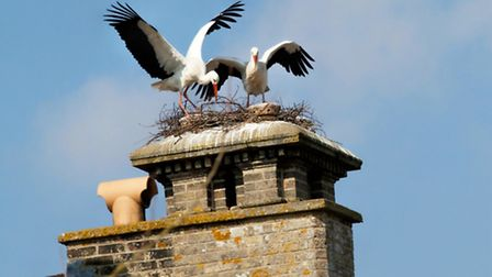The White Storks (Ciconia ciconia) nesting in a chimney at Thrigby Hall Wildlife Gardens in Filby, P