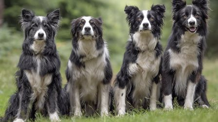 A pack of beautiful Border Collies Picture: Nigel Wallace Photography