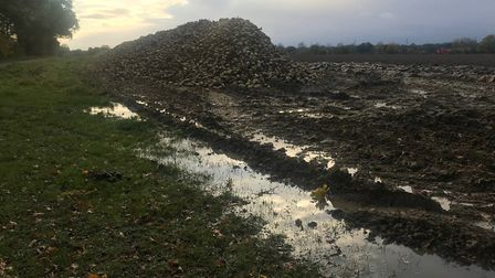 Sugar beet awaiting collection by the roadside after being harvested Picture: SARAH CHAMBERS