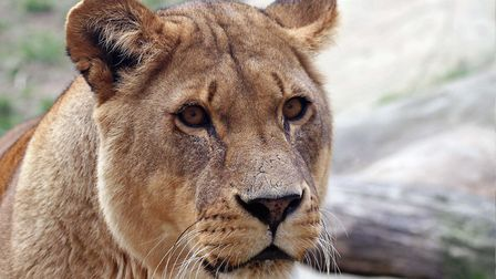 Lioness Malika has died at Colchester Zoo after being diagnosed with liver disease. Picture: DAVID MARSAY