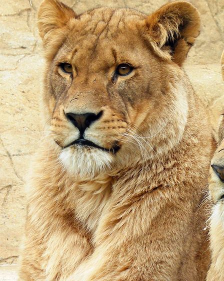 Colchester Zoo is mourning over the death of its lioness Malika, who was diagnosed with liver disease. Picture: COLCHESTER...