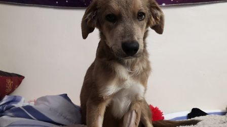 Merlin the lovable Romanian rescue puppy needs an operation costing more than £4,000 Picture: NATHAN
