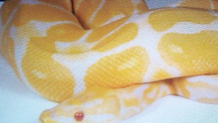 The missing 3ft python named Cheescake Picture: GARETH BARKER
