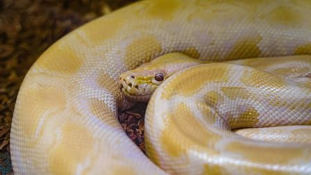 Royal albino pythons are not poisonous. Stock image. Picture: GETTY IMAGES