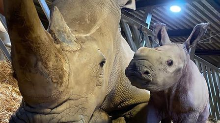 Astrid the white rhino has given birth to her first calf at Colchester Zoo. Picture: COLCHESTER ZOO
