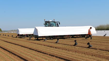 Seasonal workers hand weeding carrots at James Foskett Farms at Bromeswell, near Woodbridge Picture