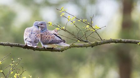 A pair of turtle doves Picture: RICHARD BENNETT
