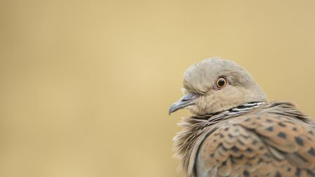 The RSPB is trying to reverse a decline in turtle dove numbers Picture: BEN ANDREW