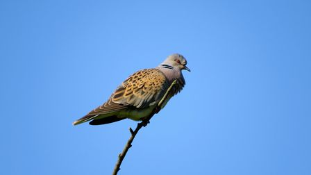 Turtle Dove project is trying out a new approach to farmer payments Picture: JONNY RANKIN