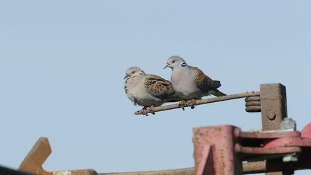A pair of turtle doves perched on agricultural machinery PIcture: ANDY HAY