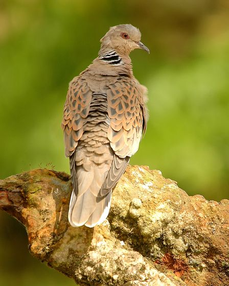 The turtle dove is now the UK's most threatened farmland bird Picture: DAVID MORRIS