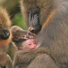 Mindy the mandrill monkey has given birth at Colchester Zoo. Picture: COLCHESTER ZOO